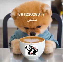 buy-sell entertainment-sports pets پامرانین خرسی سفید پامر جیبی توله سگ جیبی