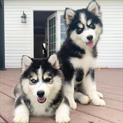 buy-sell entertainment-sports pets خرید هاسکی مینیاتوری _ قیمت  هاسکی