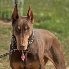 buy-sell entertainment-sports pets فروش توله دوبرمن بلوطی رنگ خاص