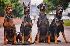 buy-sell entertainment-sports pets توله دوبرمن بلوطی خاص