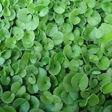 industry agriculture agriculture بذر چمن-شبدر زینتی-بذر چمن دایکوندرا09190107631