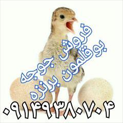 industry livestock-fish-poultry livestock-fish-poultry فروش جوجه بوقلمون