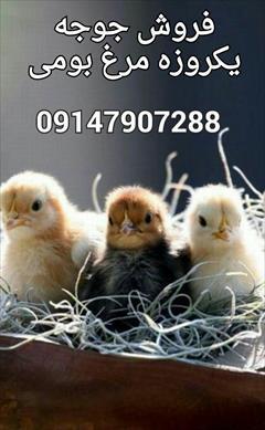 industry livestock-fish-poultry livestock-fish-poultry جوجه یک روزه، فروش جوجه یکروزه مرغ گوشتی و بومی
