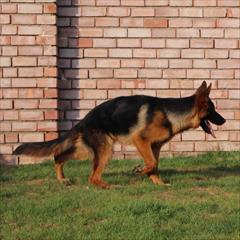 buy-sell entertainment-sports pets سگ های ژرمن شپرد قهرمان و مقام دار